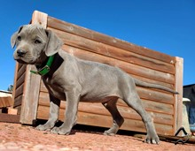 "PPR-200501 ""Tip"" blue male in green collar"